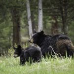 Black bear and cub in woods