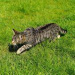 cat sneaking through grass