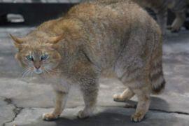 Orange tiger-looking cat, looking mad