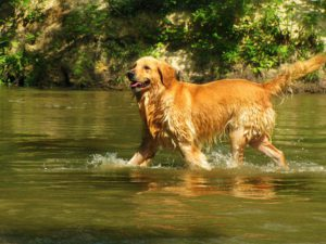 brown dog wading in stream