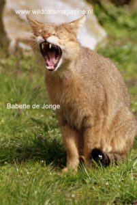 Cat with orange-mottled coat, mouth open, roaring