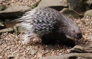 porcupine on gravel