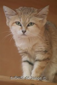 Light tan cat with a few brown stripes