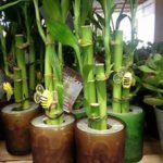 several bamboo plants in containers