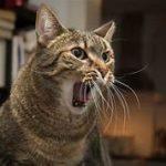 cat yowling