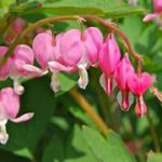 Pink heart-shaped flowers and leaves