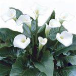 White single-petal flowers, dark green leaves
