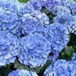 Mass of large blue flowers on green plant
