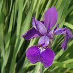 Iris blossom, sword-like leaves