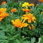Yellow-orange flowers, serrated leaves