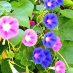 Pink, blue blossoms, heart-shaped leaves