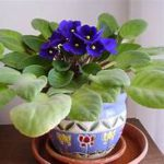 Deep blue violet flowers, green leaves, in small planter