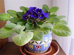 Dark blue violet in colored pot