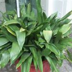 Plant with a multitude of green leaves in planter