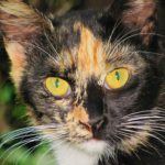 face of calico cat, whiskers