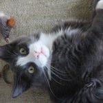 tuxedo cat lying down