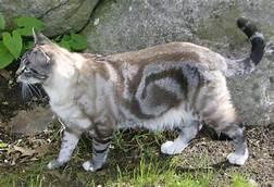 white & brown tabby, bulls eye marking
