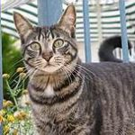 standing tabby cat, grey, black stripes