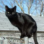Black cat on fence top