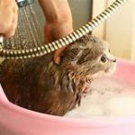 cat being washed in basin with sprayer