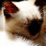 Head of Balinese cat, chocolate points