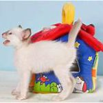 Balinese kitten, white with colored points