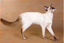 Balinese cat standing