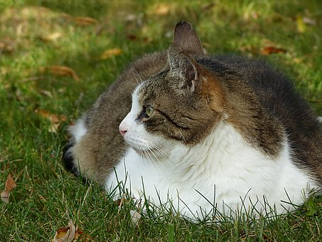 Fat tabby with white chest, hunkered in grass