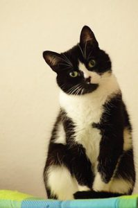 Sitting black and white cat