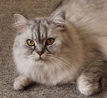 Long-haird grey cat, big yellow eyes