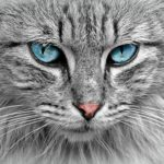 face of grey cat with blue eyes