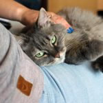 Grey cat on lap, being petted
