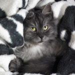 Grey cat snuggled in covers