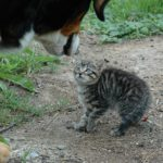 fluffed kitten confronting dog