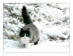 long-haired black cat, white chest, walking with fluffy tail erect