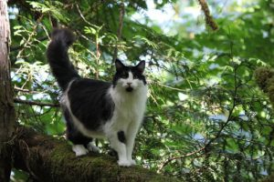 longhaired black & white cat standing on tree limb