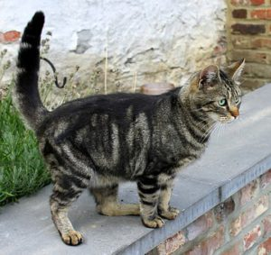 Dark-striped cat on top of wall, tail erect