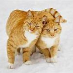 two orange cats, one with tail around the other