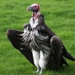 lappet-faced vulture standing on grass