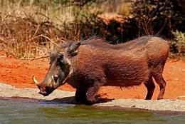 warthog kneeling by water