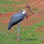 Marabau stork standing
