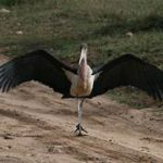 Marabau stork, wings spread