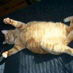 fat orange cat, lying on back
