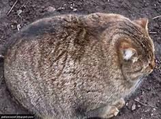 very round grey cat, seated