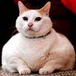 fat white cat with collar, lying down
