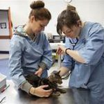 Vet examining cat's ears; owner with cat