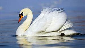 A beautiful white swan