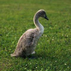 A young swan, not full-grown, still grey-color