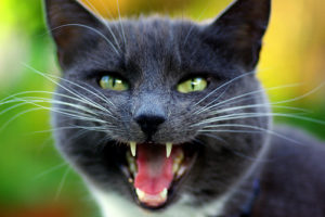 Cat head, yowling