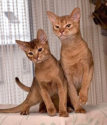 Two small Abyssinian cats